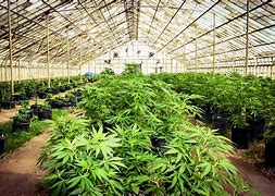 Read more about the article NDLEA: CEO of NDLEA Disagrees Over Cannabis Legalization; Calls it 'Devil's Plant'